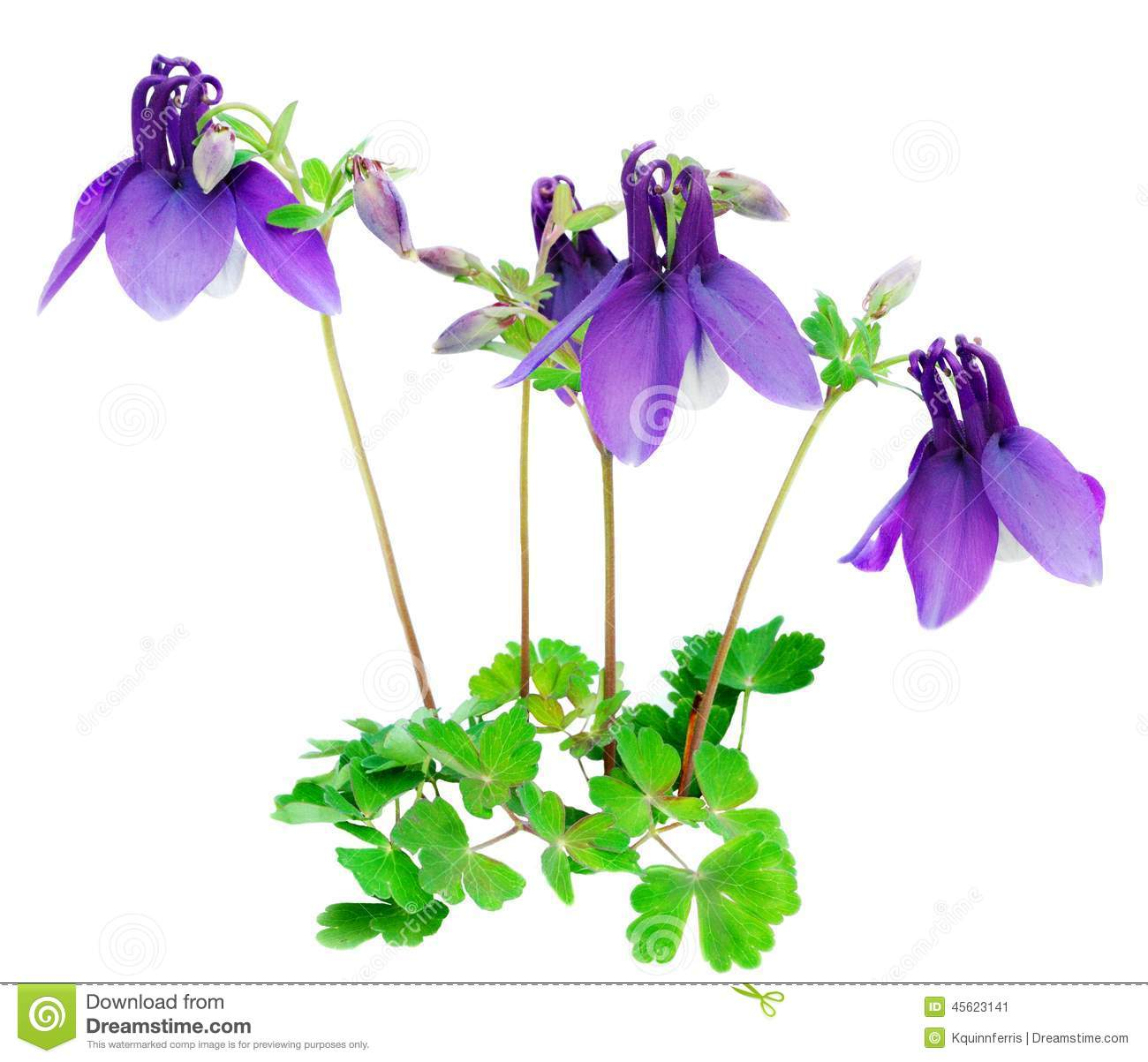 Purple blue columbine flower isolated stock image image of bonnet purple blue columbine flower isolated izmirmasajfo