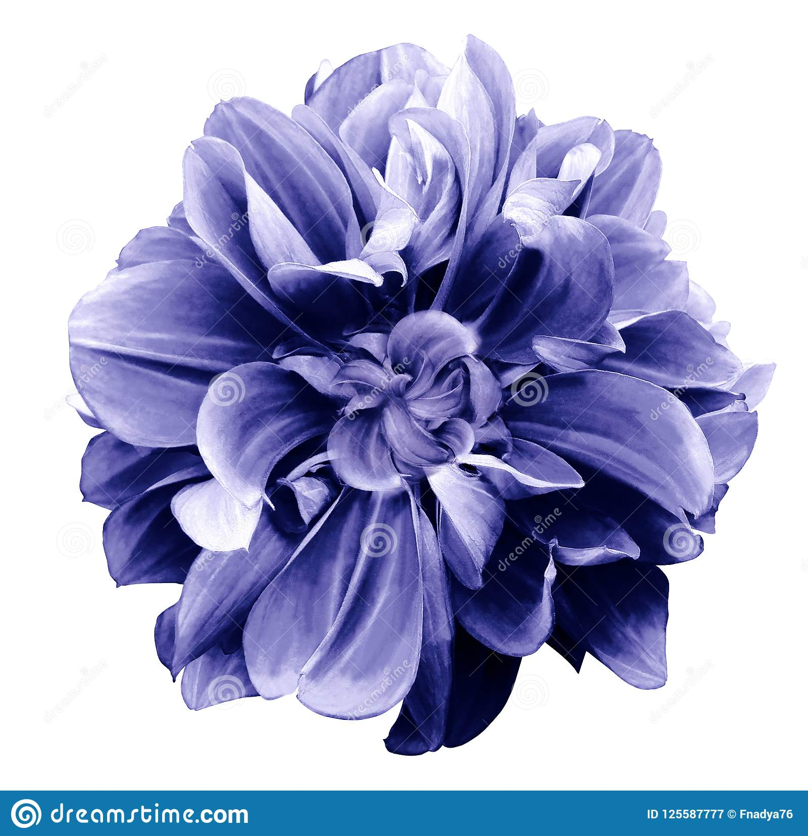 Purple Blue Dahlia Flower On A White Isolated Background With