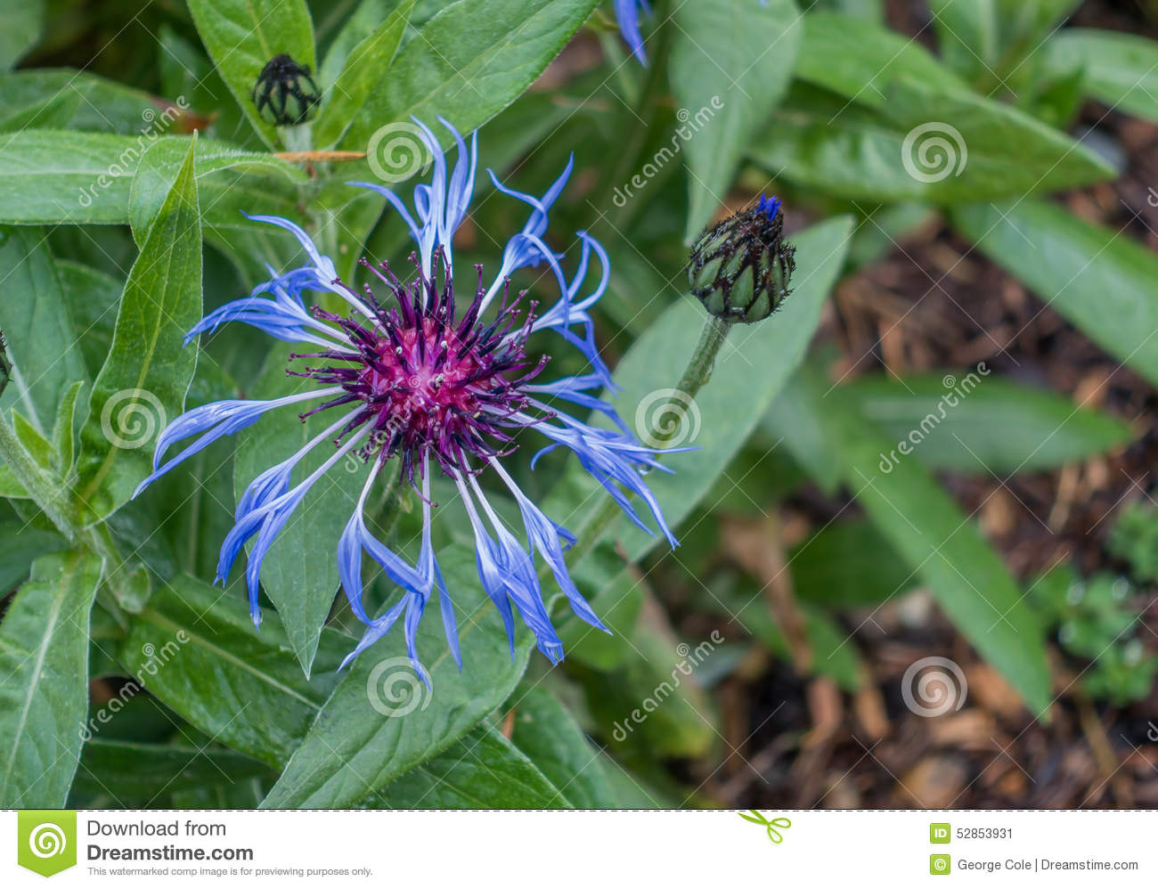 Purple and blue flower stock image image of blooming 52853931 purple and blue flower izmirmasajfo Choice Image