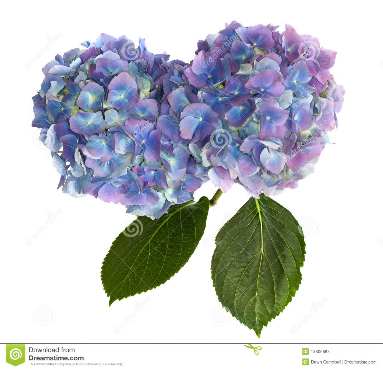 Purple And Blue Hydrangea Flower Heads On White Stock Image