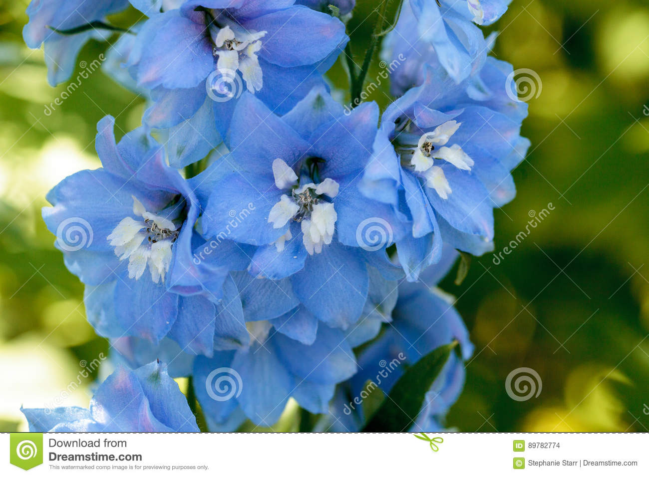 Purple Blue And White Larkspur Flower Stock Photo Image Of Bloom