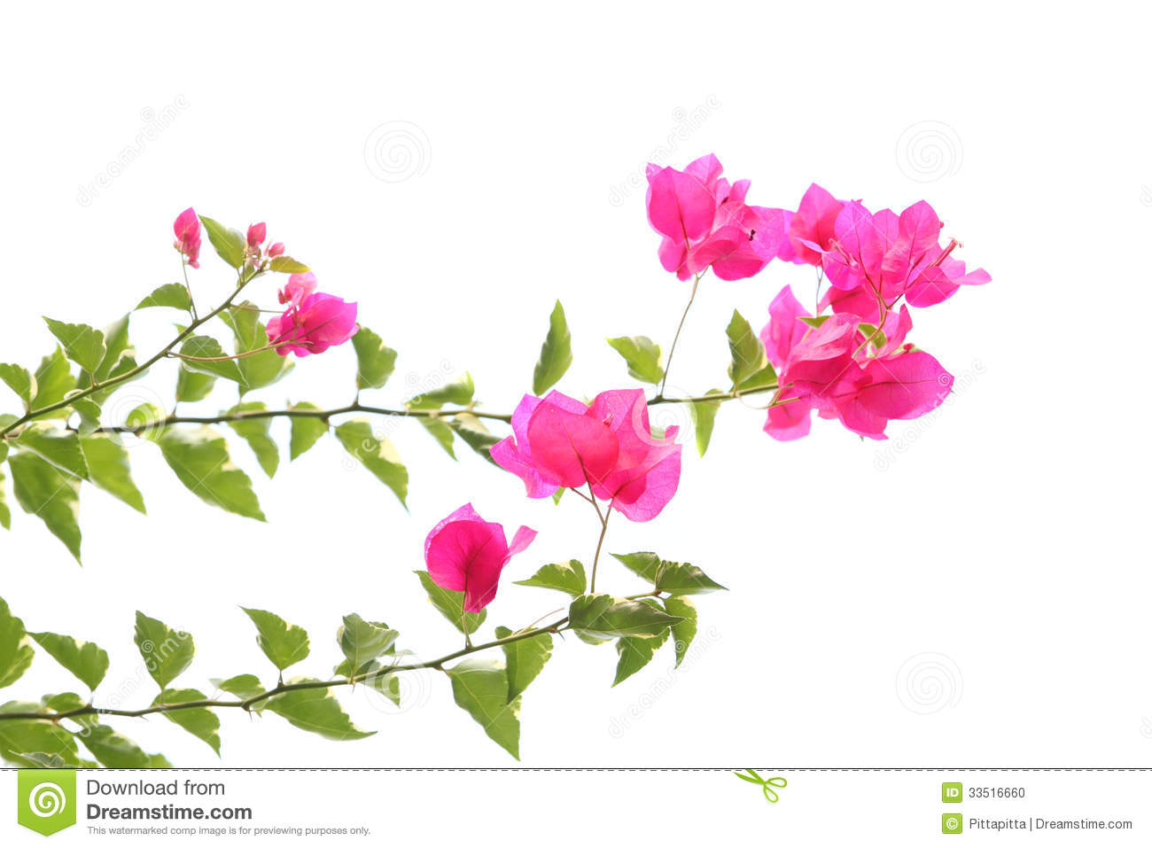 Purple Bougainvillea Stock Photo - Image: 33516660