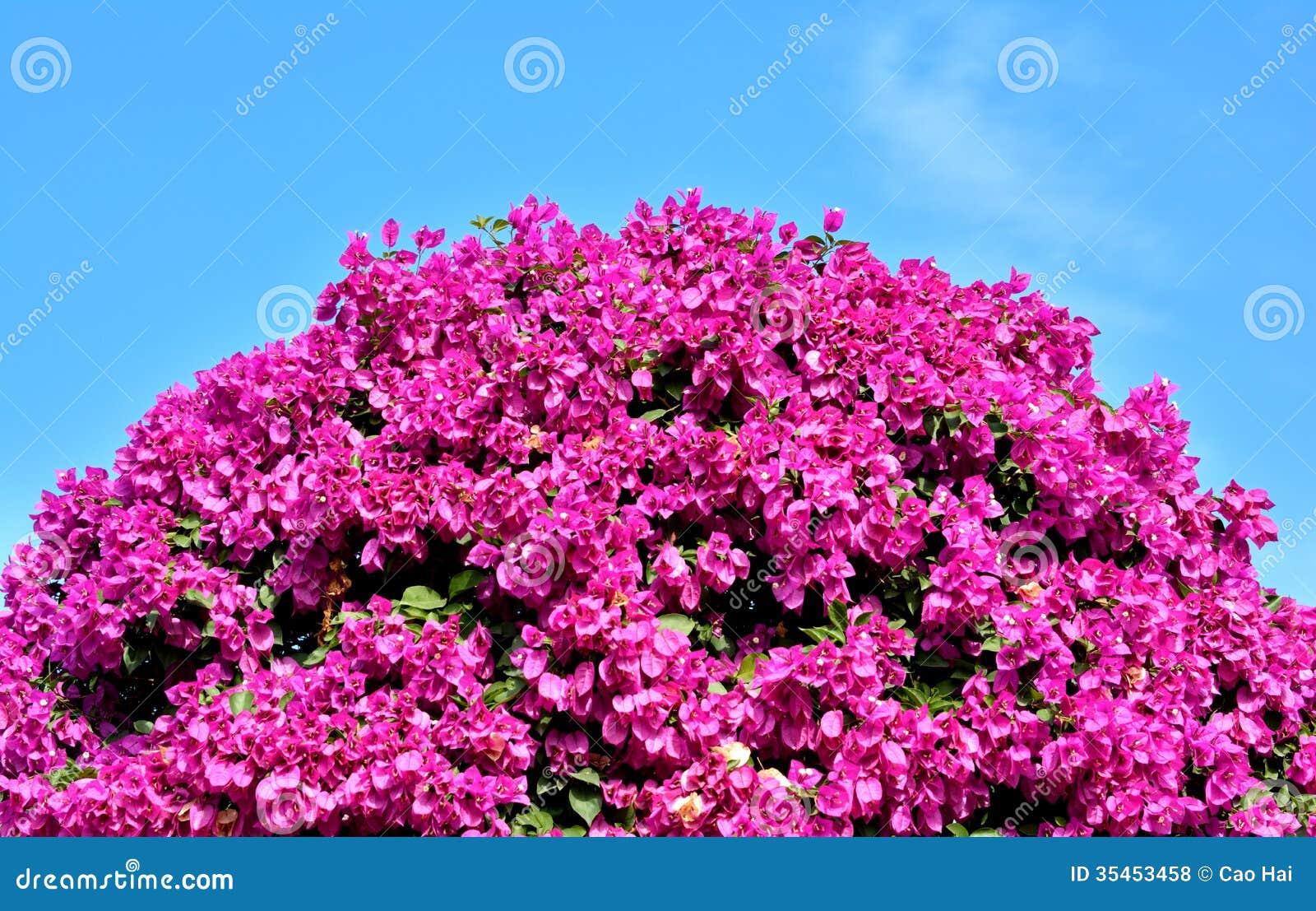 Purple Bougainvillea Flowers As Ball Shape Stock Photo ...