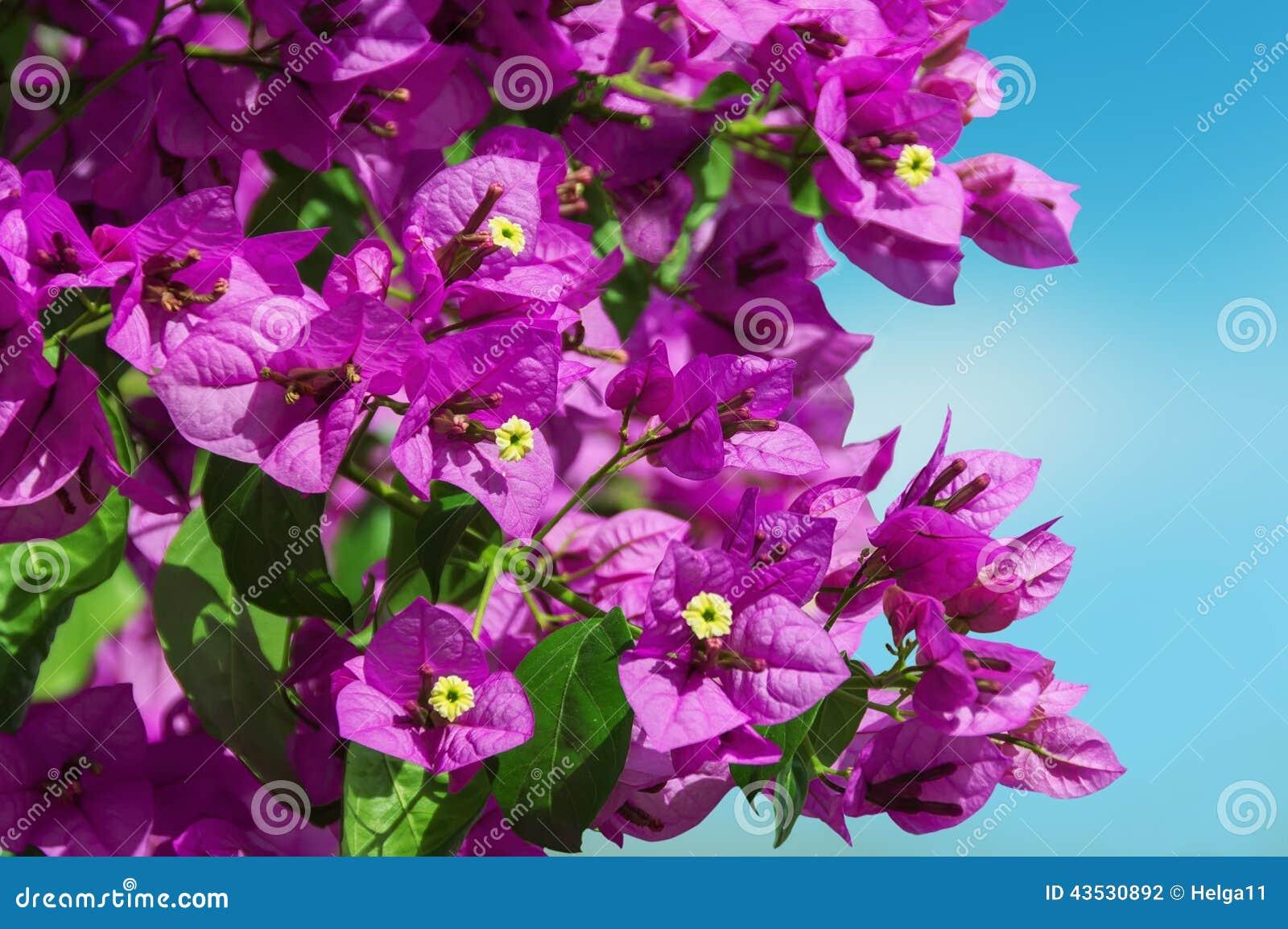 Purple Bougainvillea Stock Photo Image Of Tree Vine 43530892