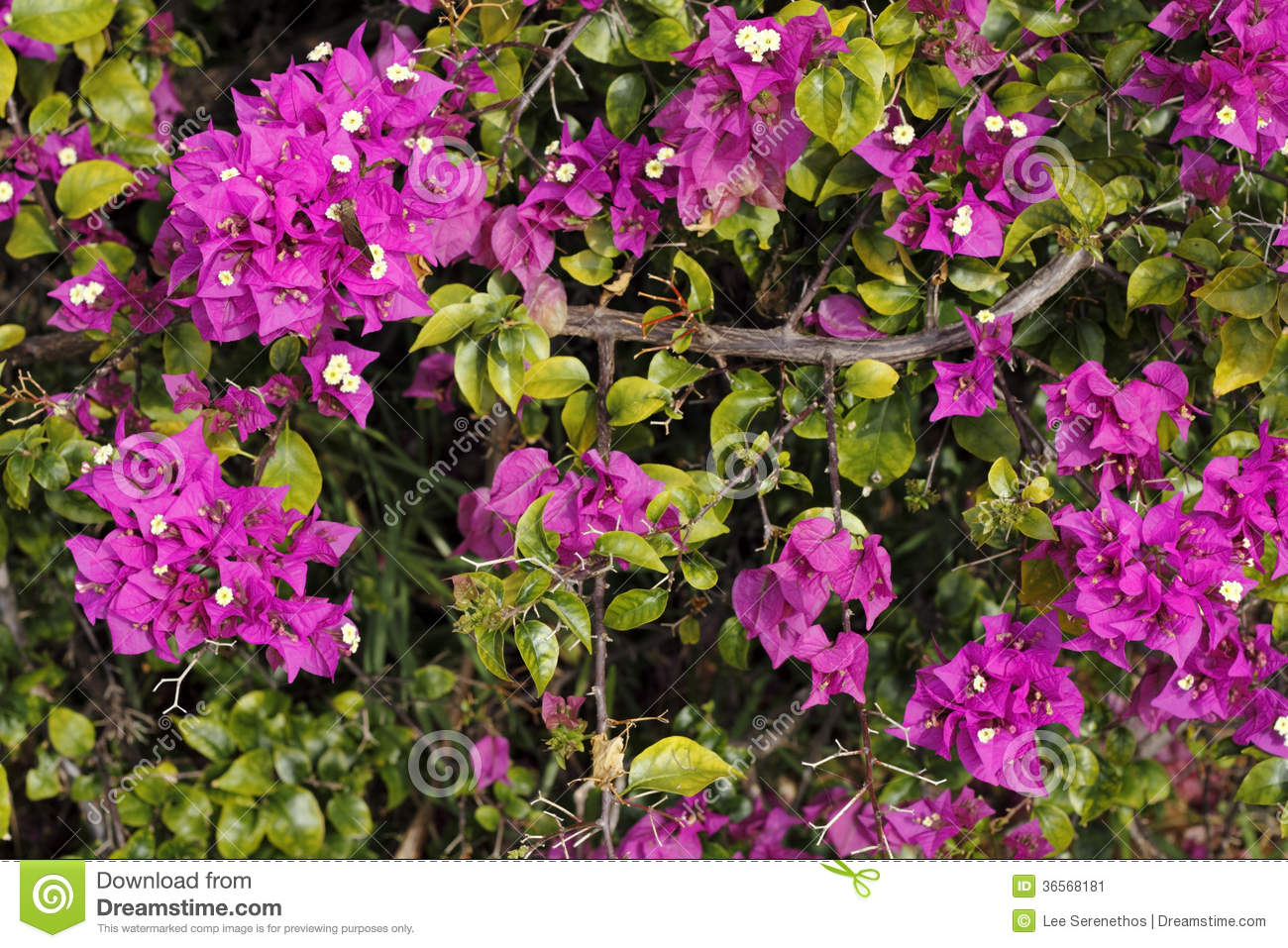 Shrubs with purple flowers at end of branch - Purple Bougainvillea Shrub