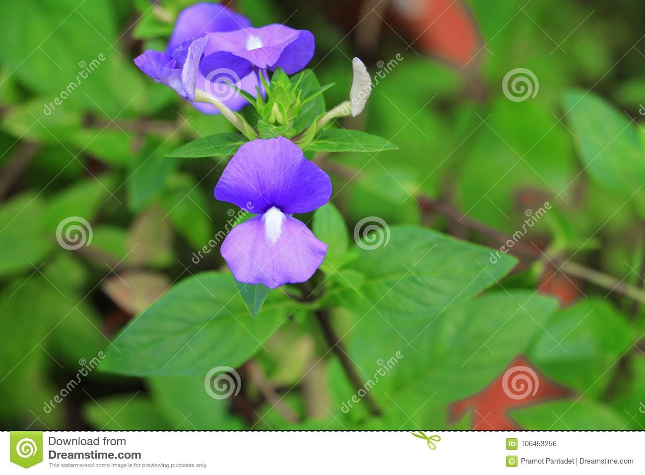 Purple Brazilian Snapdragon Beautiful Flower Otacanthus Caeruleus