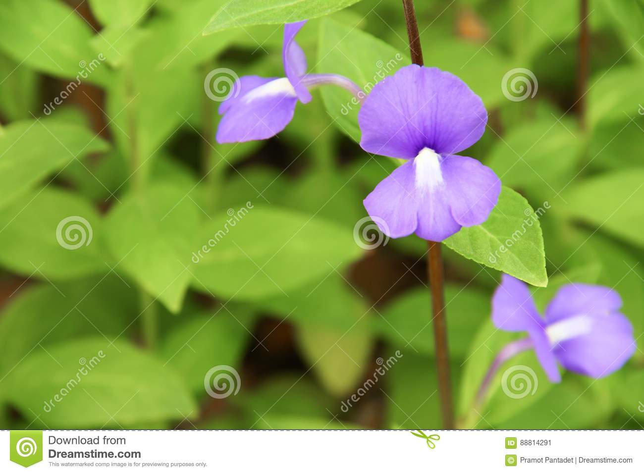Purple Brazilian Snapdragon Beautiful Flowers Stock Image Image Of