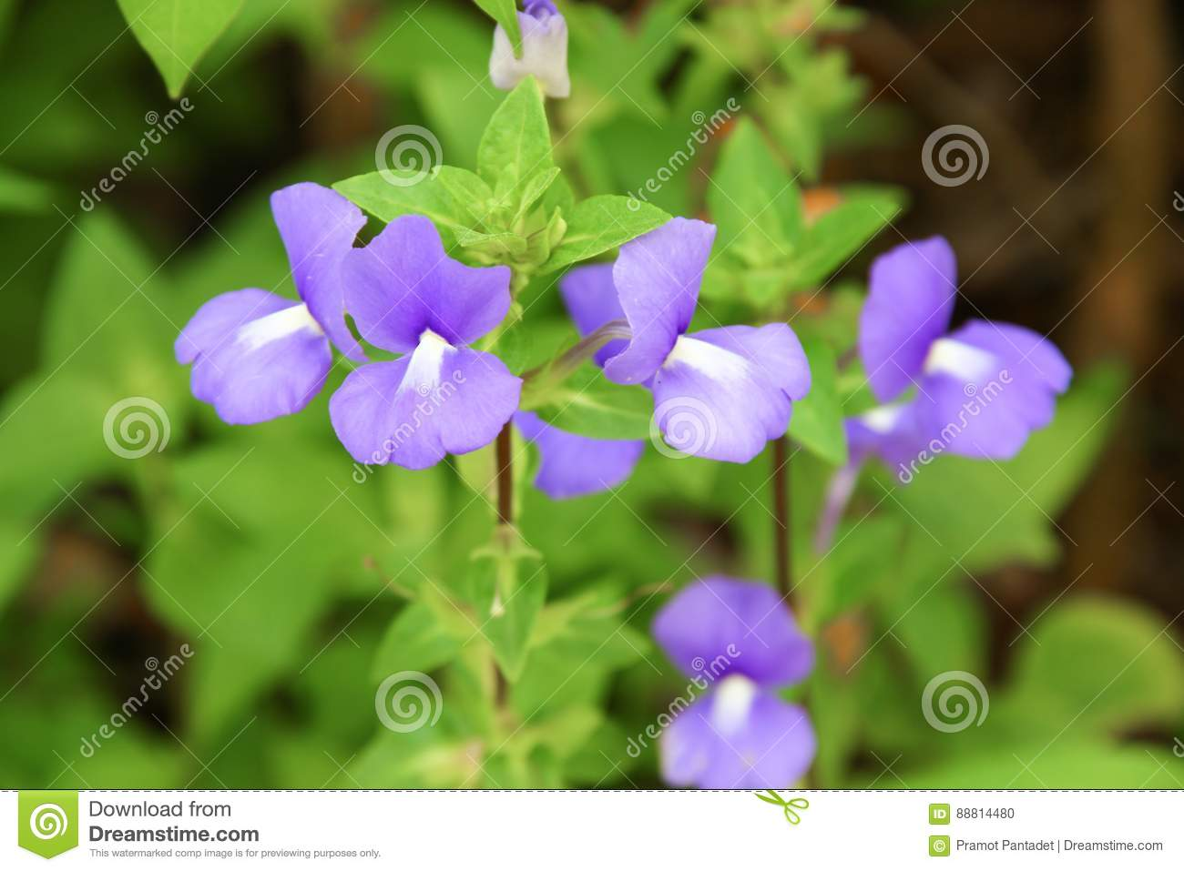 Purple Brazilian Snapdragon Beautiful Flowers Stock Photo Image Of