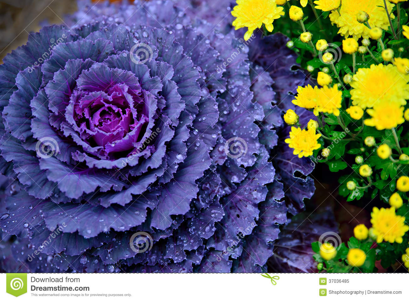 how to grow purple cabbage