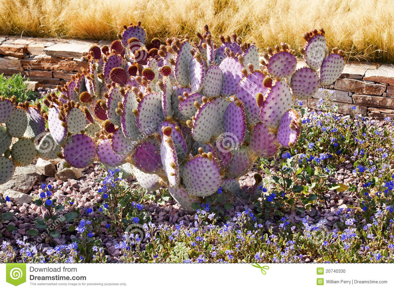 Purple Cactus Blue Flowers Desert Garden Arizona Stock