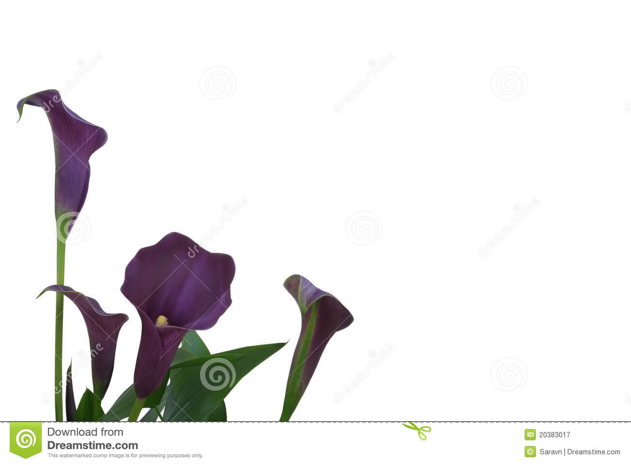 Purple Calla Lily Background Royalty Free Stock