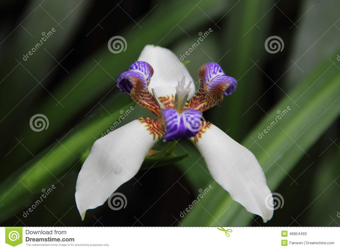 Purple center flower walking iris stock image image of floral download comp mightylinksfo