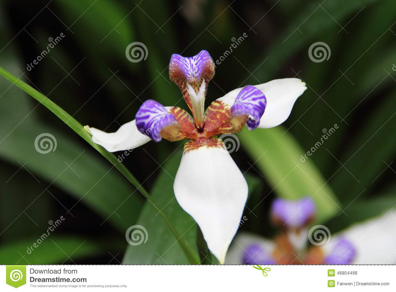Purple Center Flower Walking Iris Stock Photo Image Of Nature