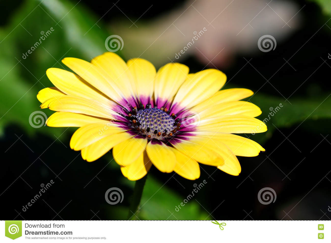 Purple Center Osteospermum Flowers Yellow Daisy Flower Daisies Stock