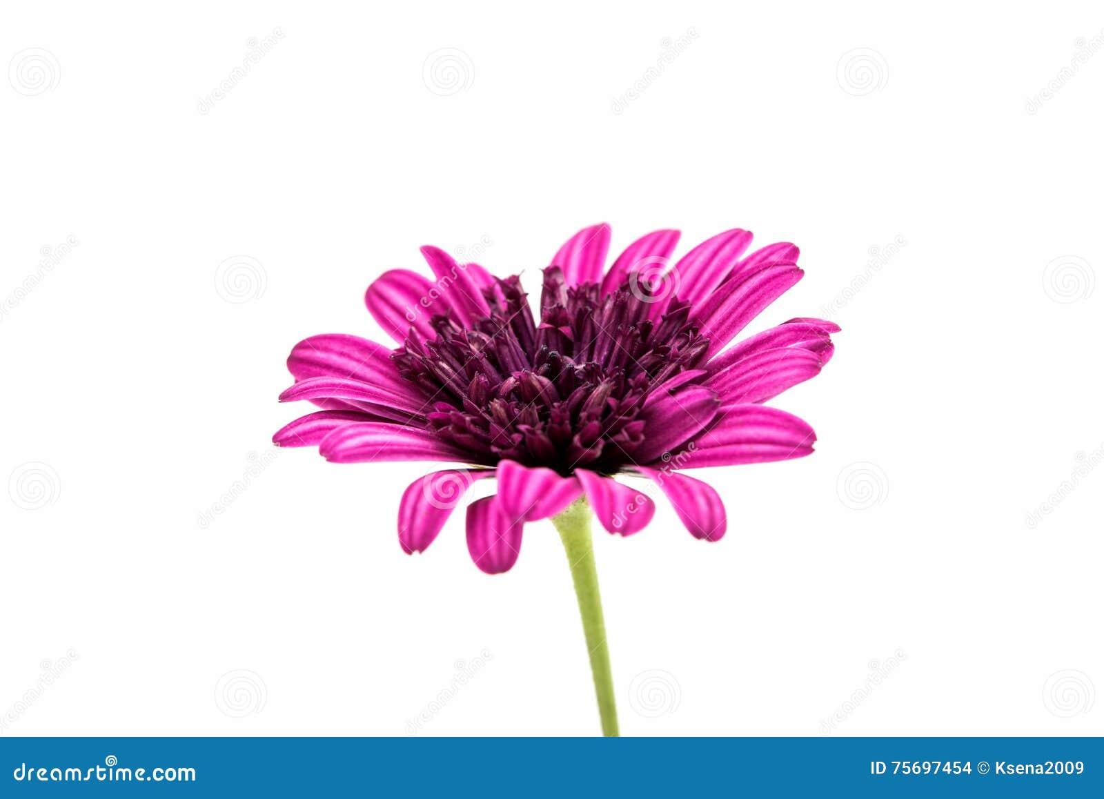 Purple chrysanthemum flower daisy family stock photo image of purple chrysanthemum flower daisy family isolated on white background izmirmasajfo