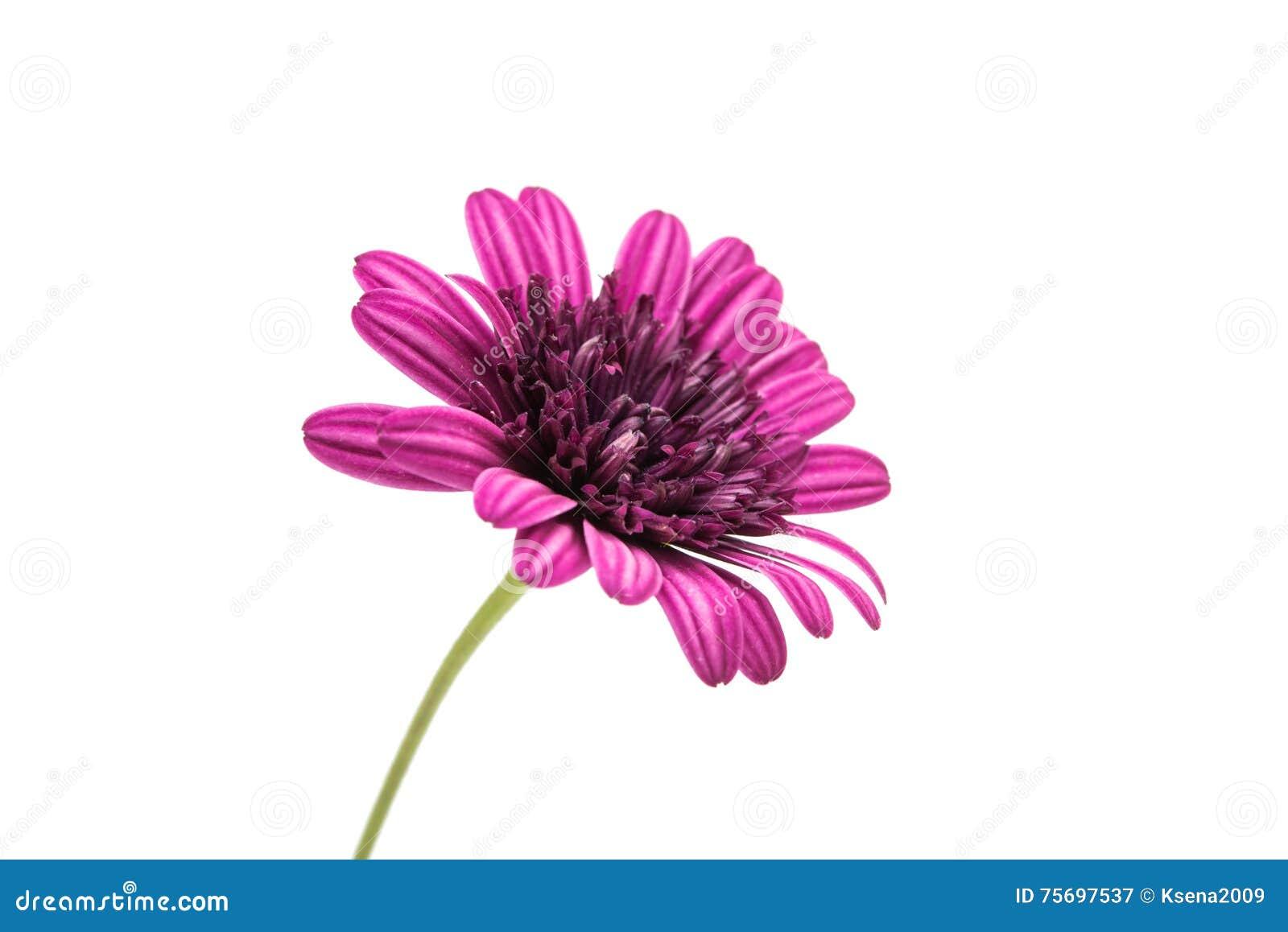 Purple chrysanthemum flower daisy family stock image image of purple chrysanthemum flower daisy family isolated on white background izmirmasajfo