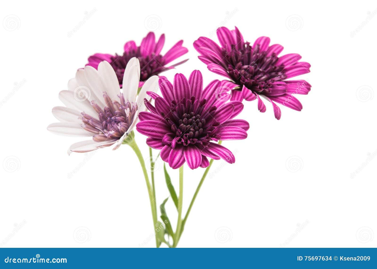 Purple chrysanthemum flower daisy family stock photo image of download purple chrysanthemum flower daisy family stock photo image of deep plant izmirmasajfo