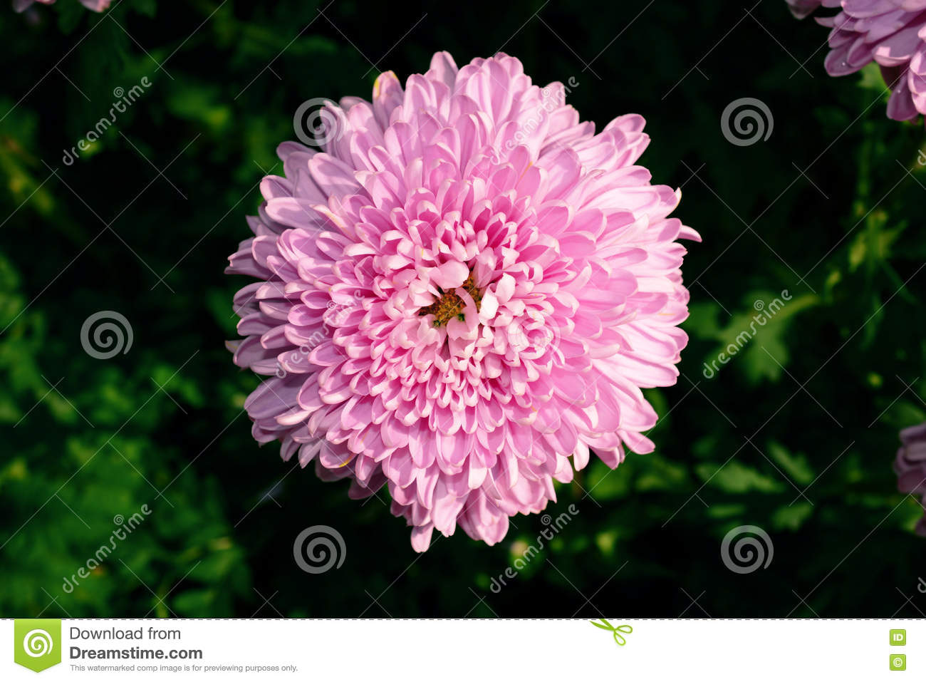 Purple Chrysanthemum Flowers In The Garden Stock Image Image Of