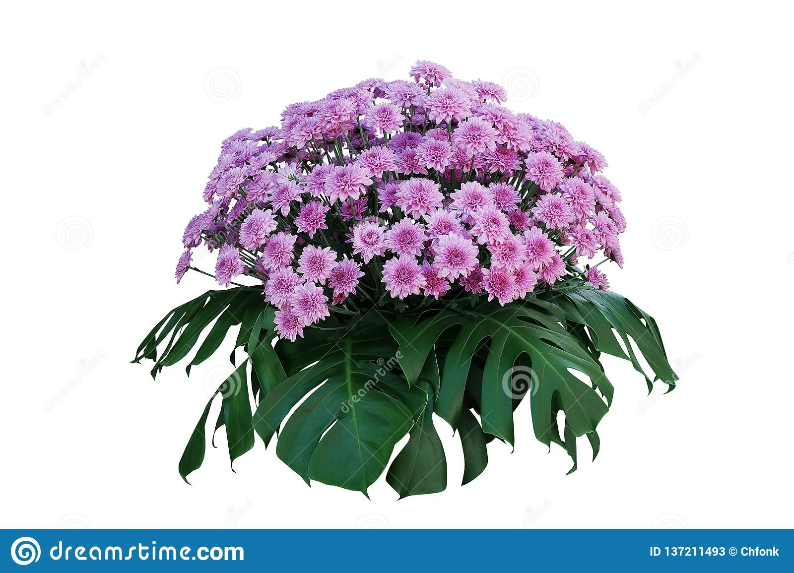 Purple Chrysanthemum flowers with tropical leaves Monstera, ornamental nature bush podium floral arrangement isolated on white