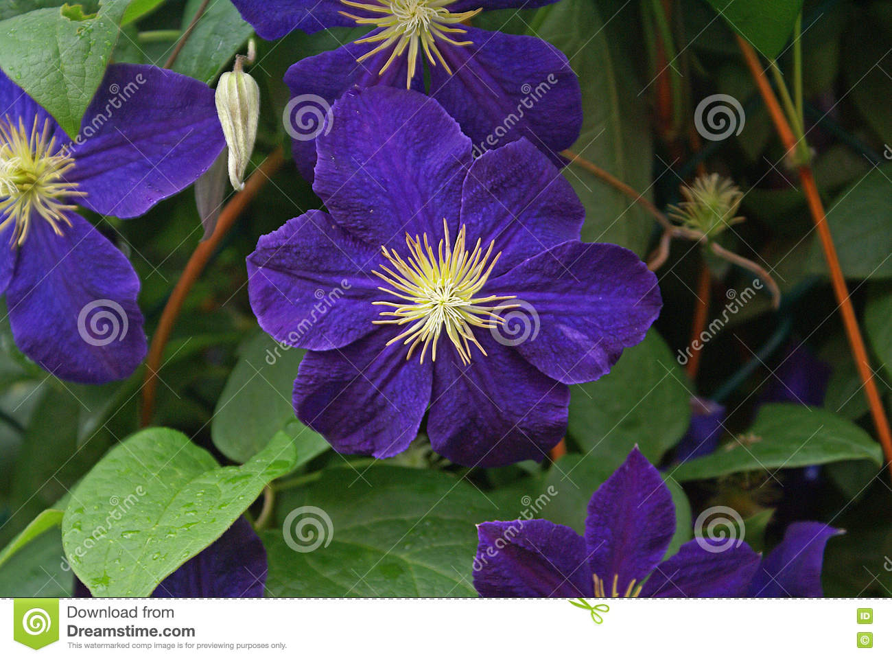 Purple clematis flowers on vine focus on yellow center stock image download comp mightylinksfo