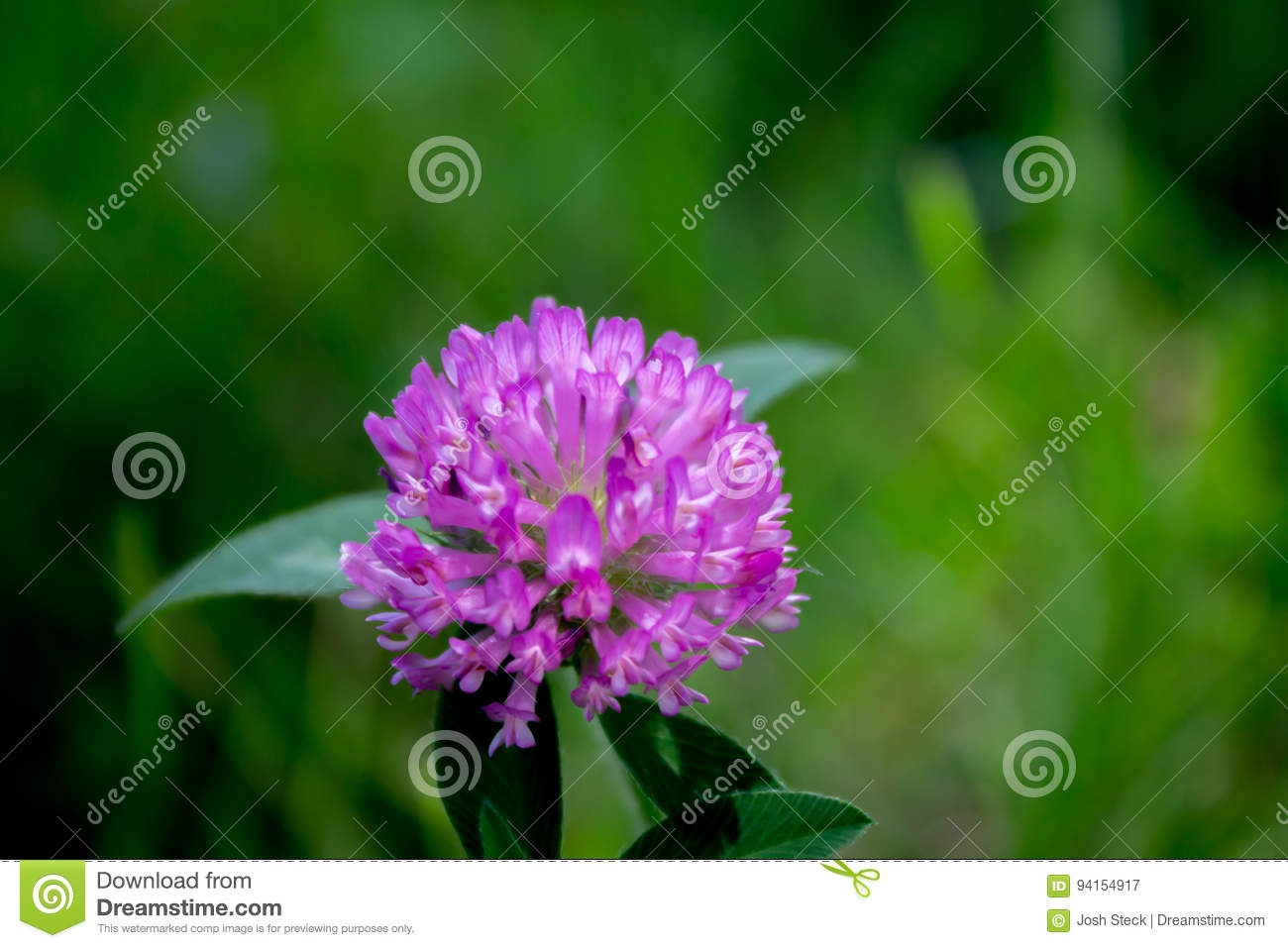 Purple Clover Flower Trifolium Pratense Stock Image Image Of