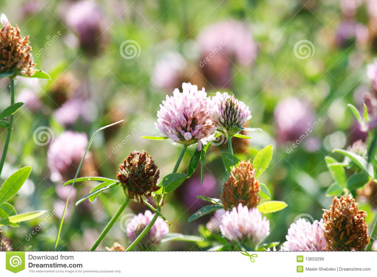 Purple Clover Flowers Stock Image Image Of Plant Field 13653299