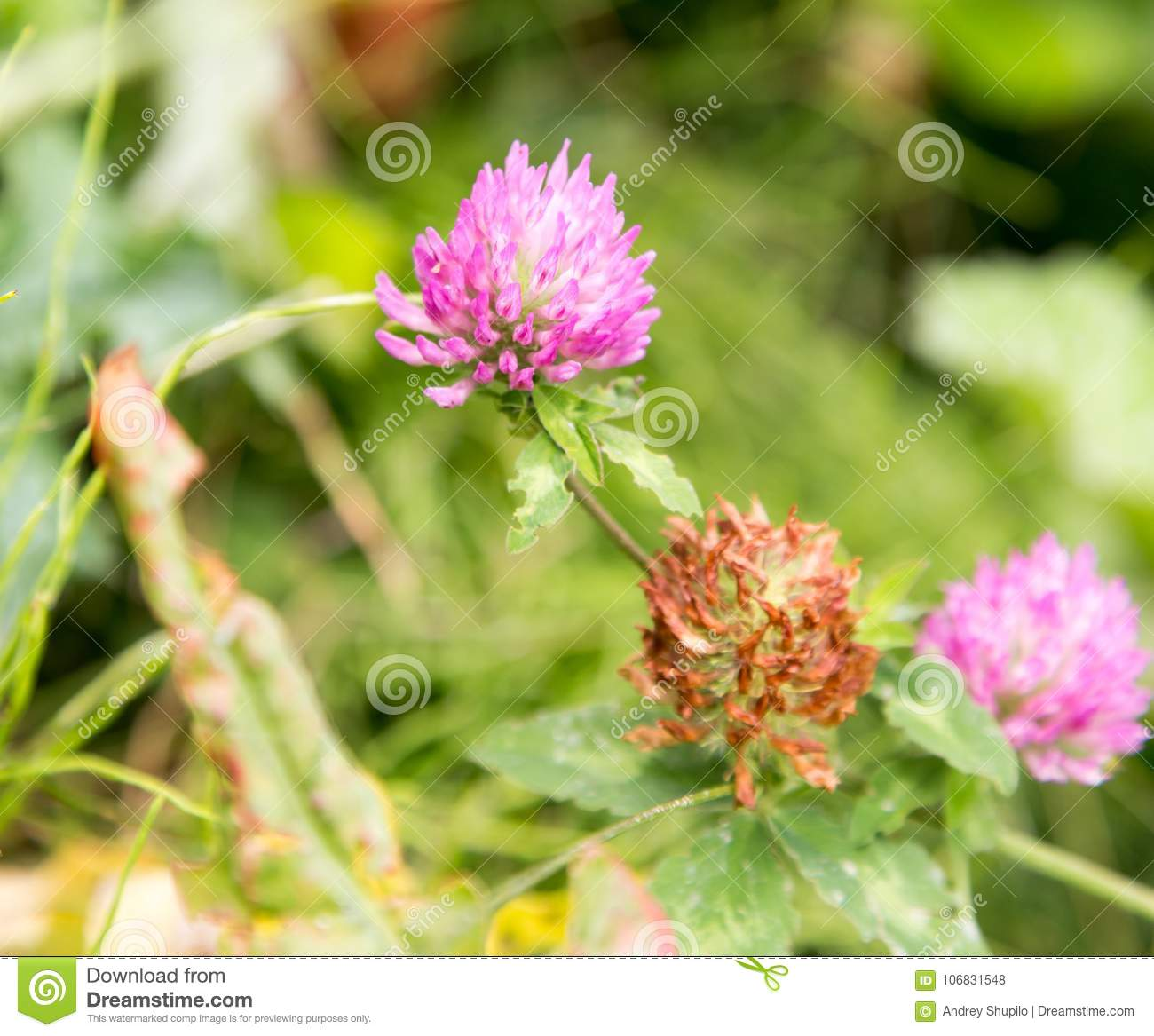 Purple Clover Flowers In Nature Stock Photo Image Of Grass Head