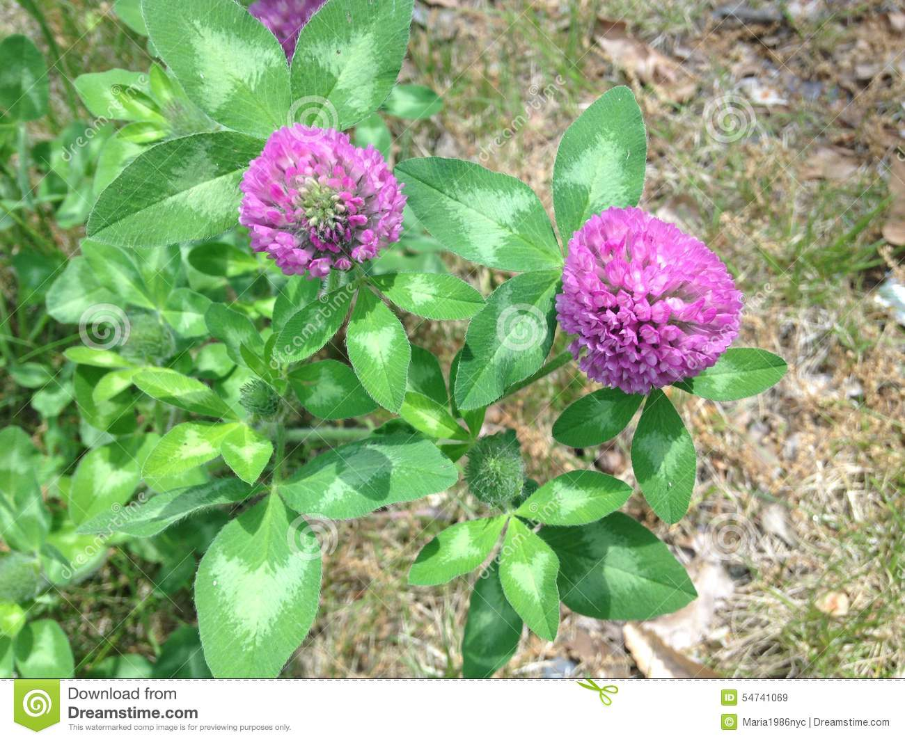 Purple Clover Flowers Stock Image Image Of Flower Leguminous