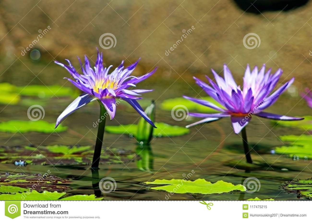 Purple Color Flowers Of Lotus Stock Image Image Of Travel Flower