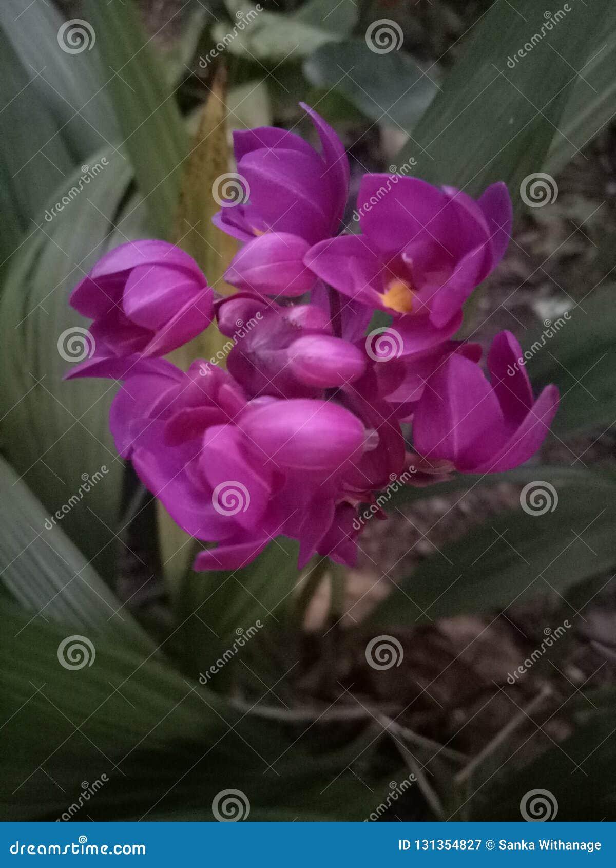 Purple Color Flowers Sri Lanka Stock Image Image Of Unknown