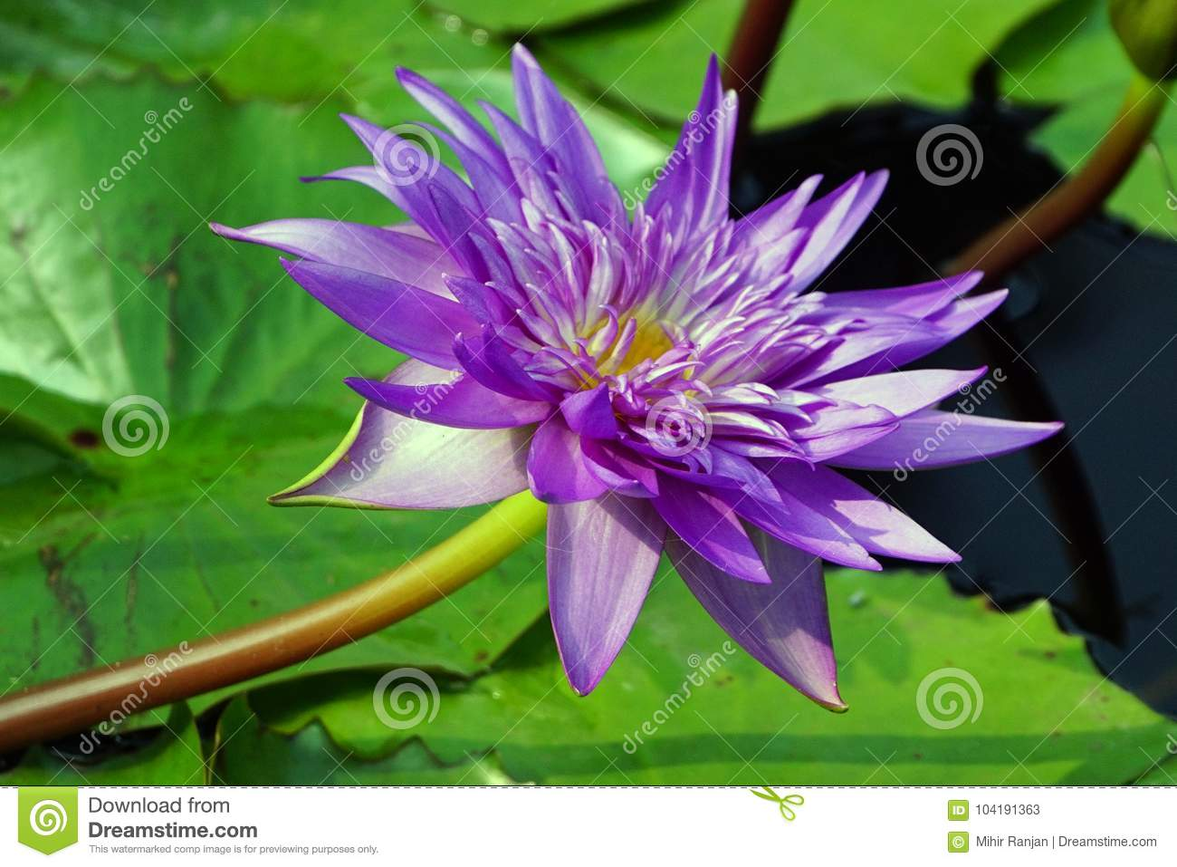 A purple color water lily flower.