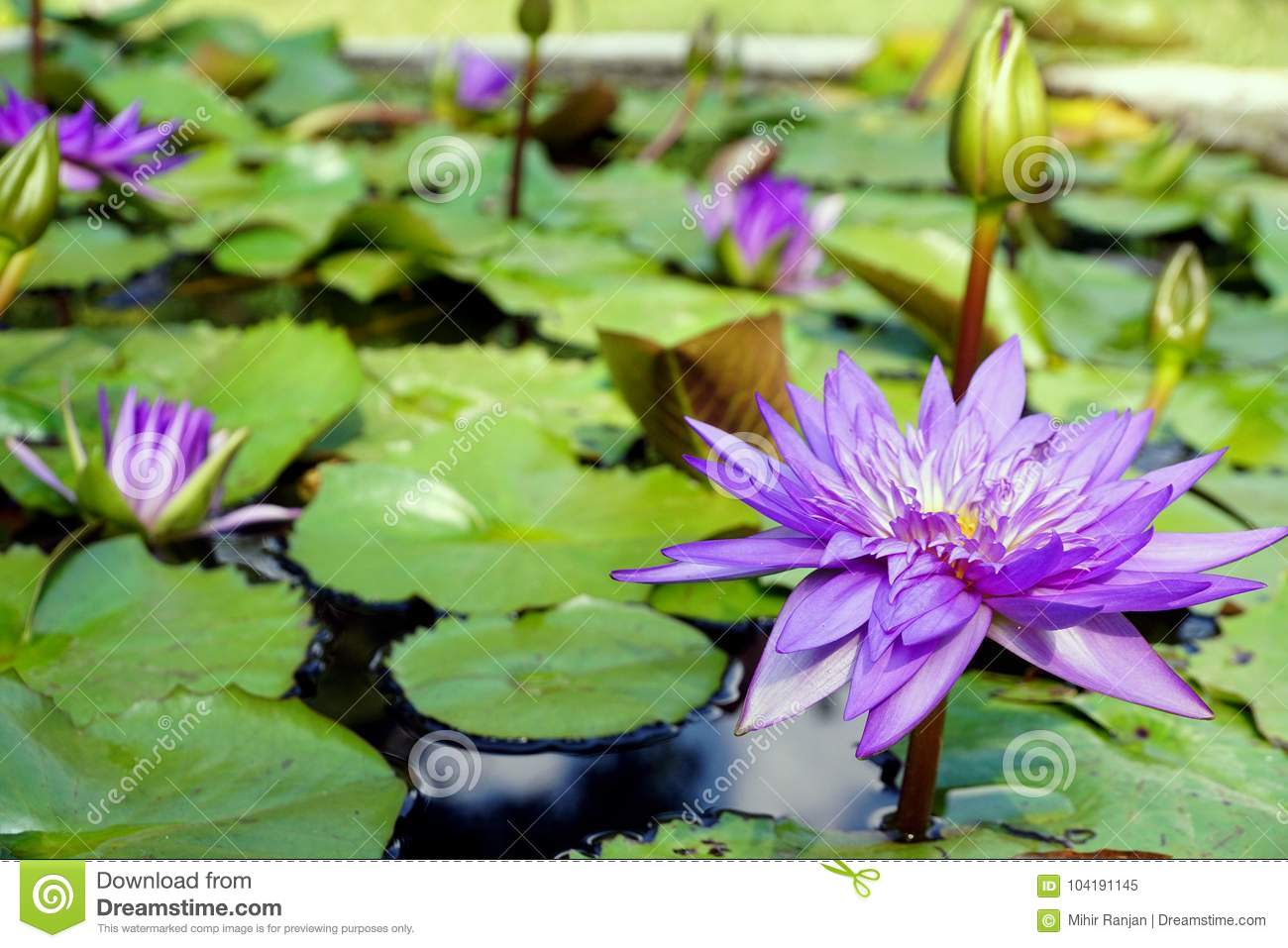 The Purple Color Water Lily Flowers And Buds. Stock Image - Image of ...