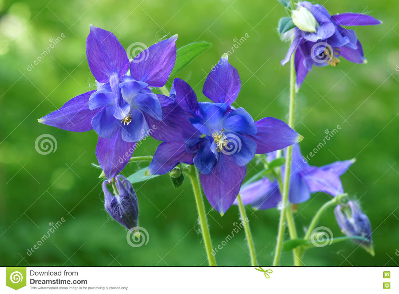 Purple columbine flowers stock image image of blossom 71938489 purple columbine flowers izmirmasajfo