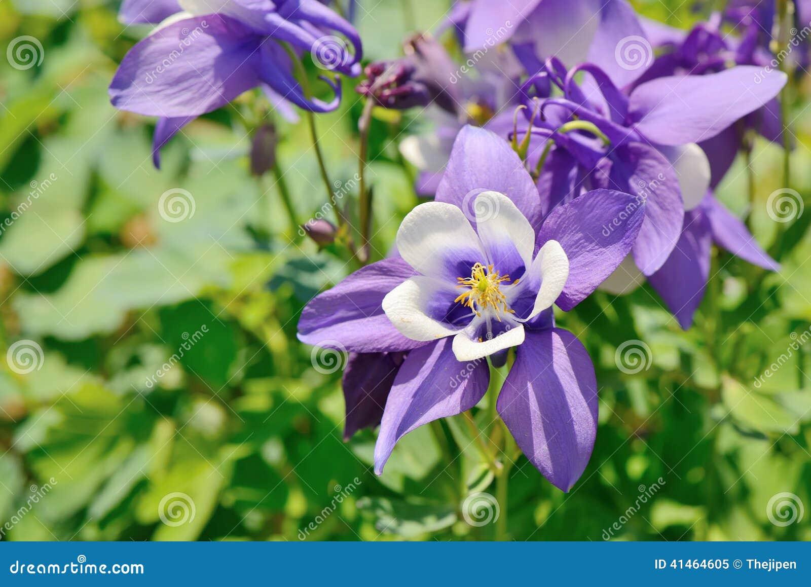 Purple columbine flowers stock photo image 41464605 closeup columbine flowers purple dhlflorist Gallery