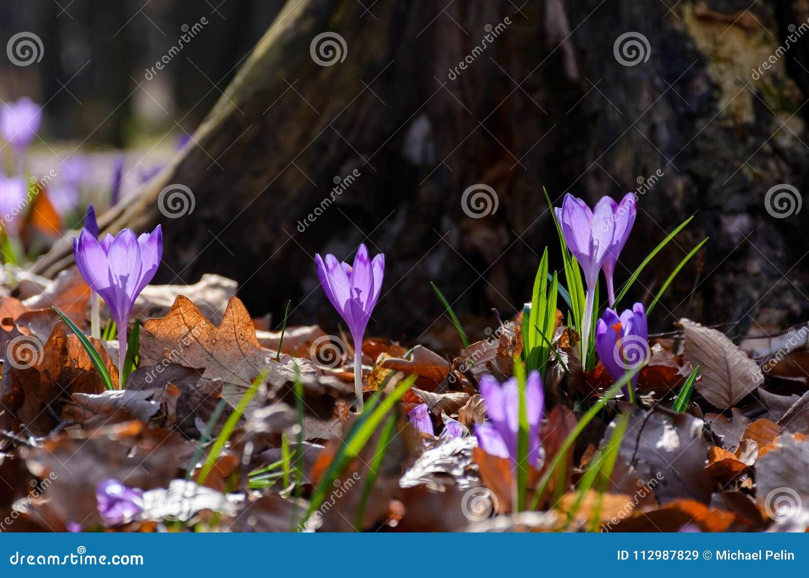 Purple crocus flowers near the stump