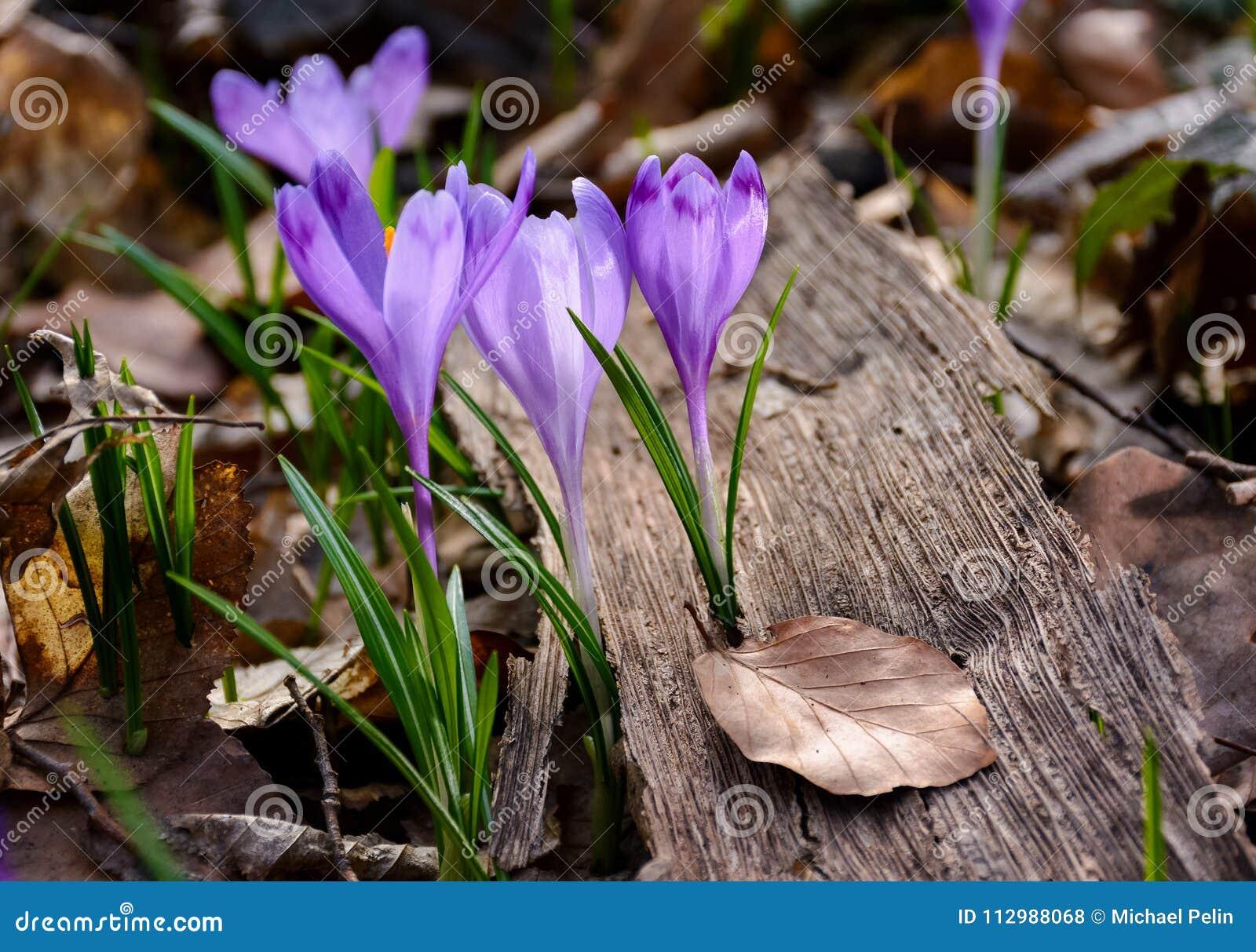 Purple crocus flowers among the weathered foliage