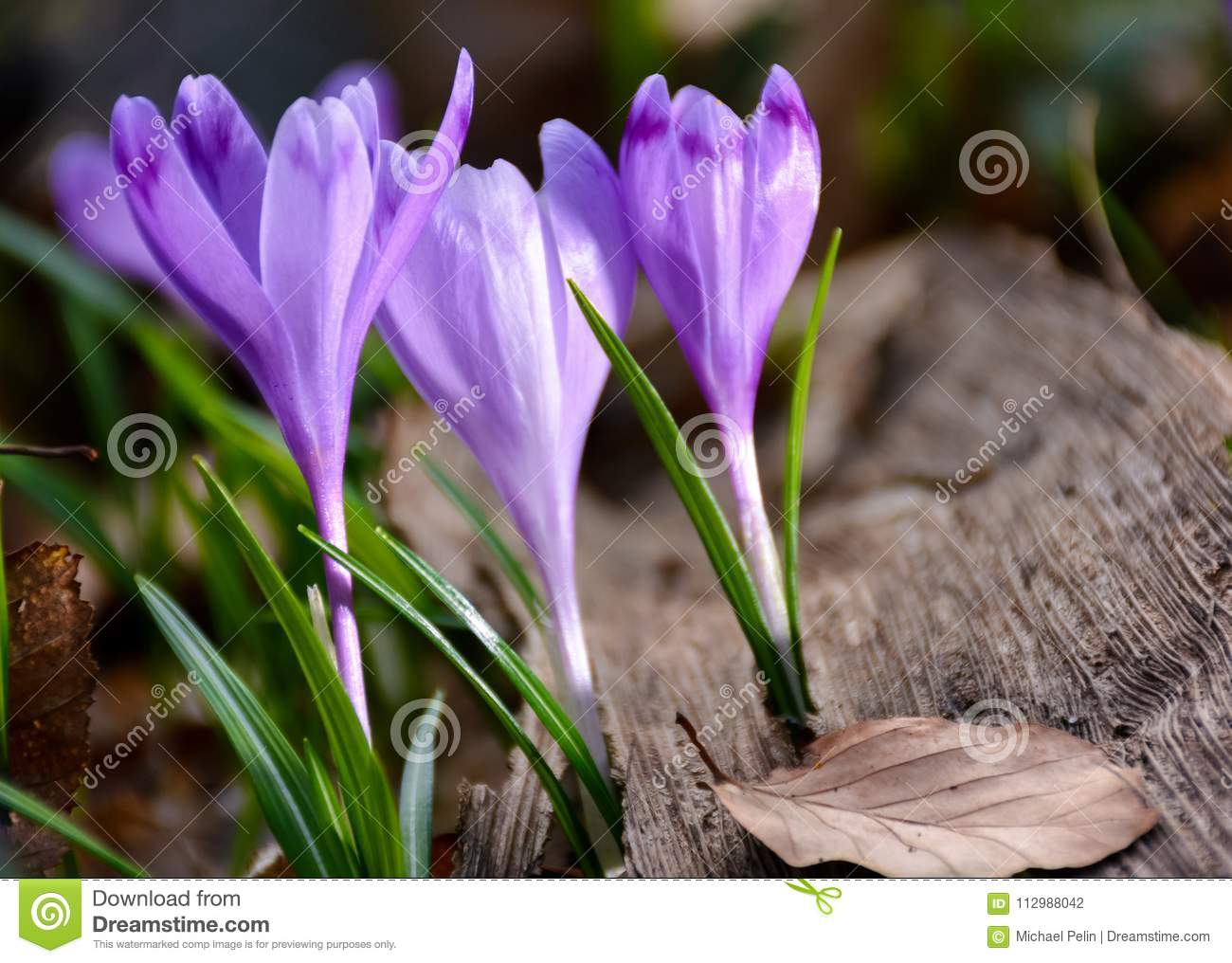 Purple crocuses in the forest