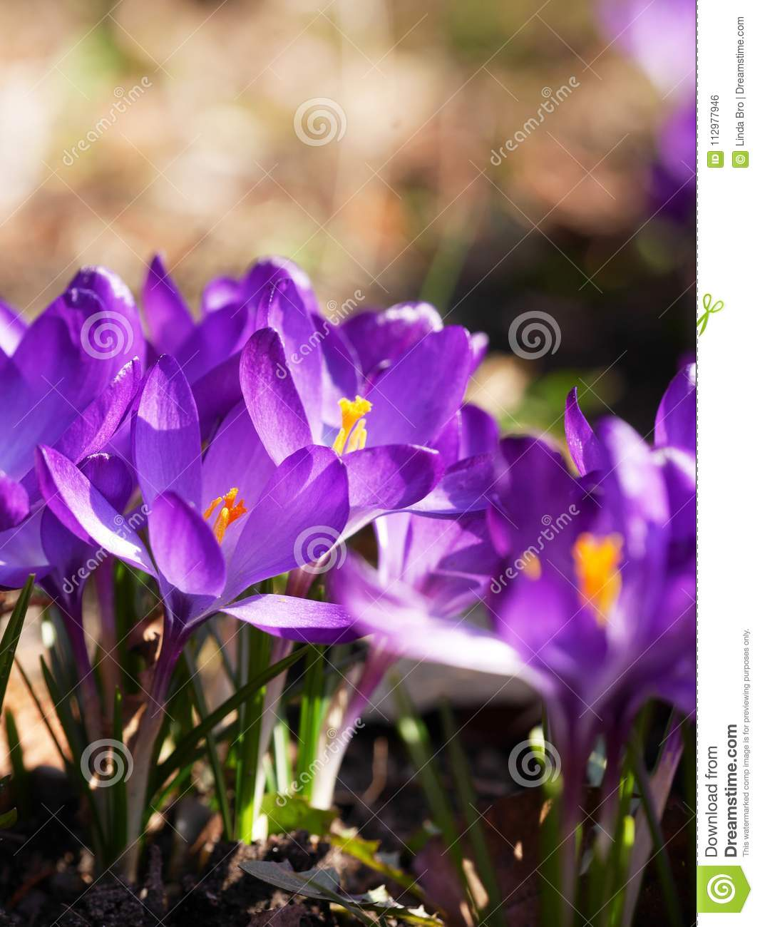 Purple crocuses in spring