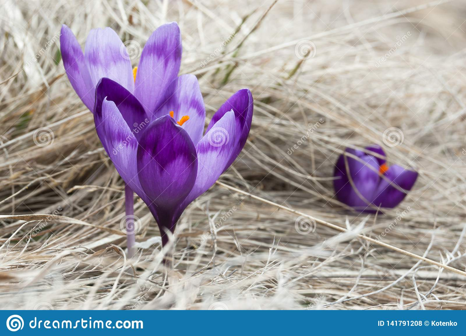 Purple Crocuses - Spring Flowers