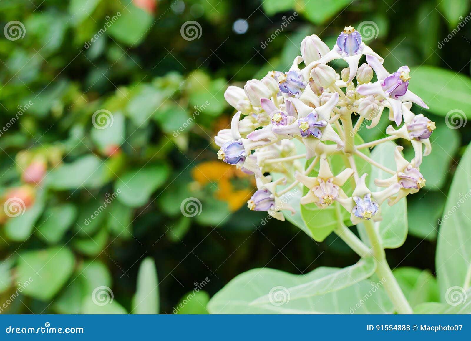 Purple Crown Flower Blooming On The Tree Calotropis Gigantea Stock