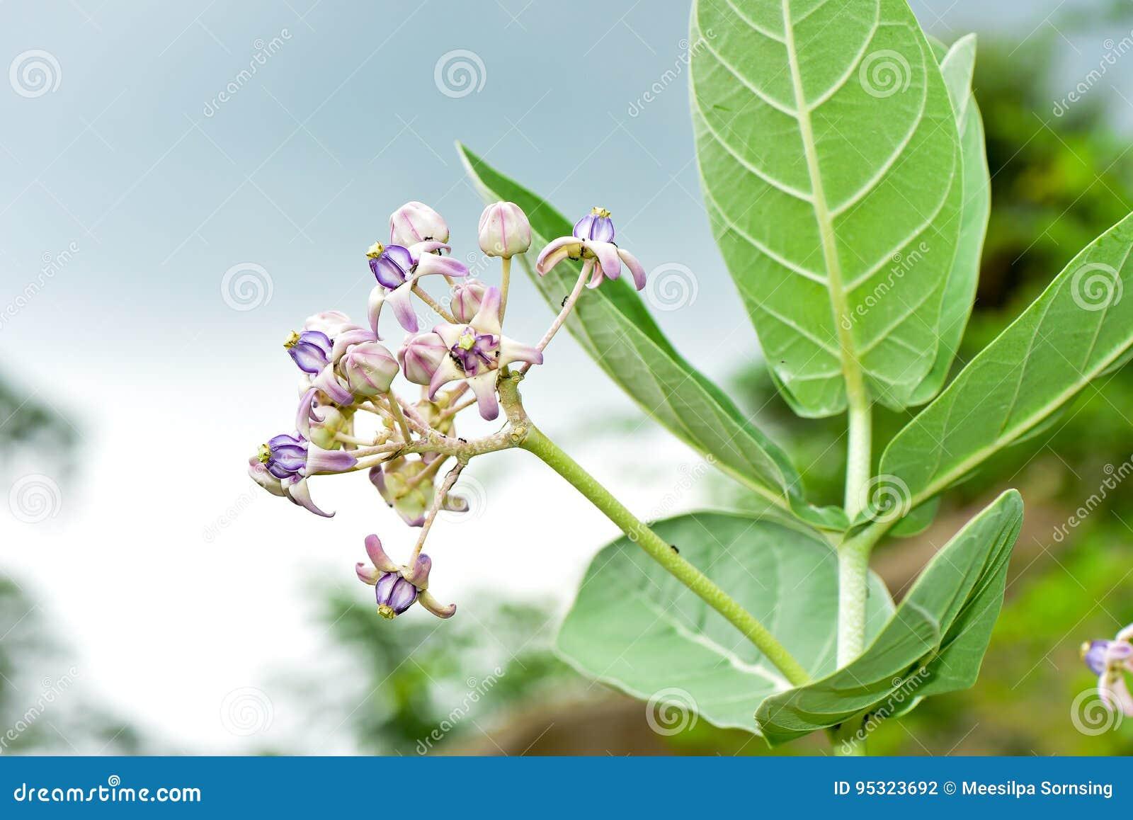 Purple crown flower,Giant Indian Milkweed,Gigantic Swallowwort