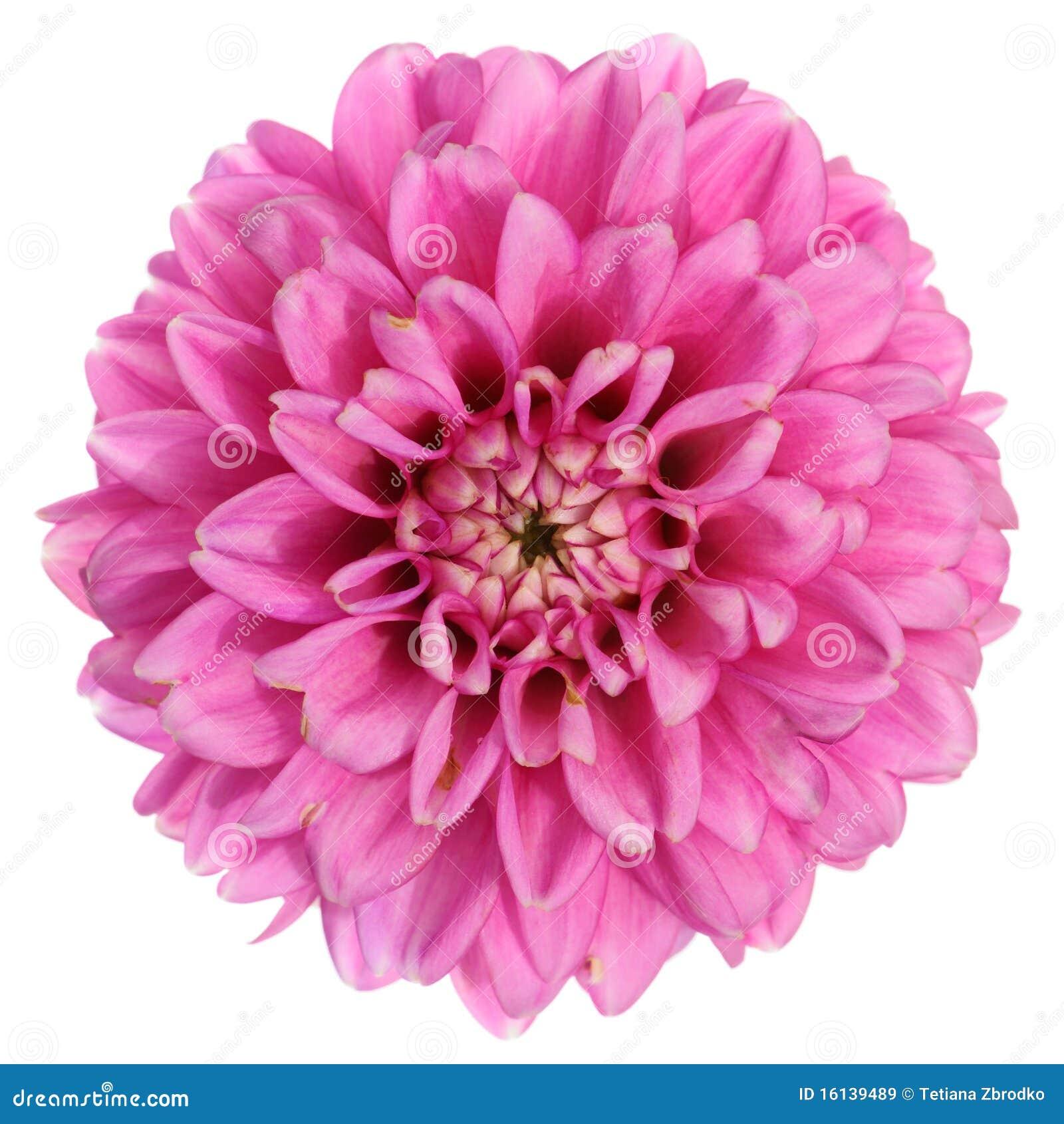 Purple Dahlia Flower Royalty Free Stock Images