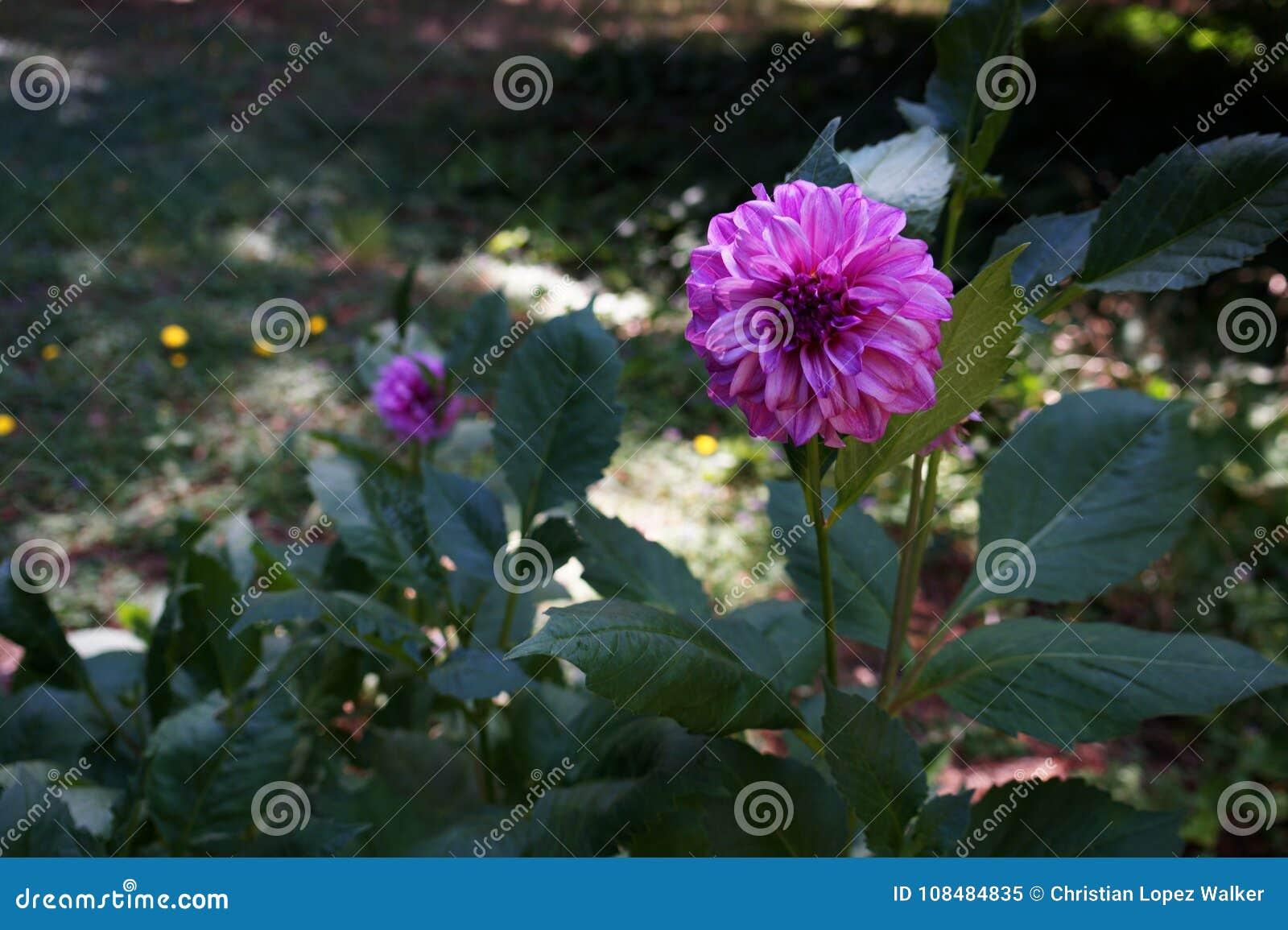 Purple dahlia flower in a green garden stock image image of download purple dahlia flower in a green garden stock image image of morning attached izmirmasajfo