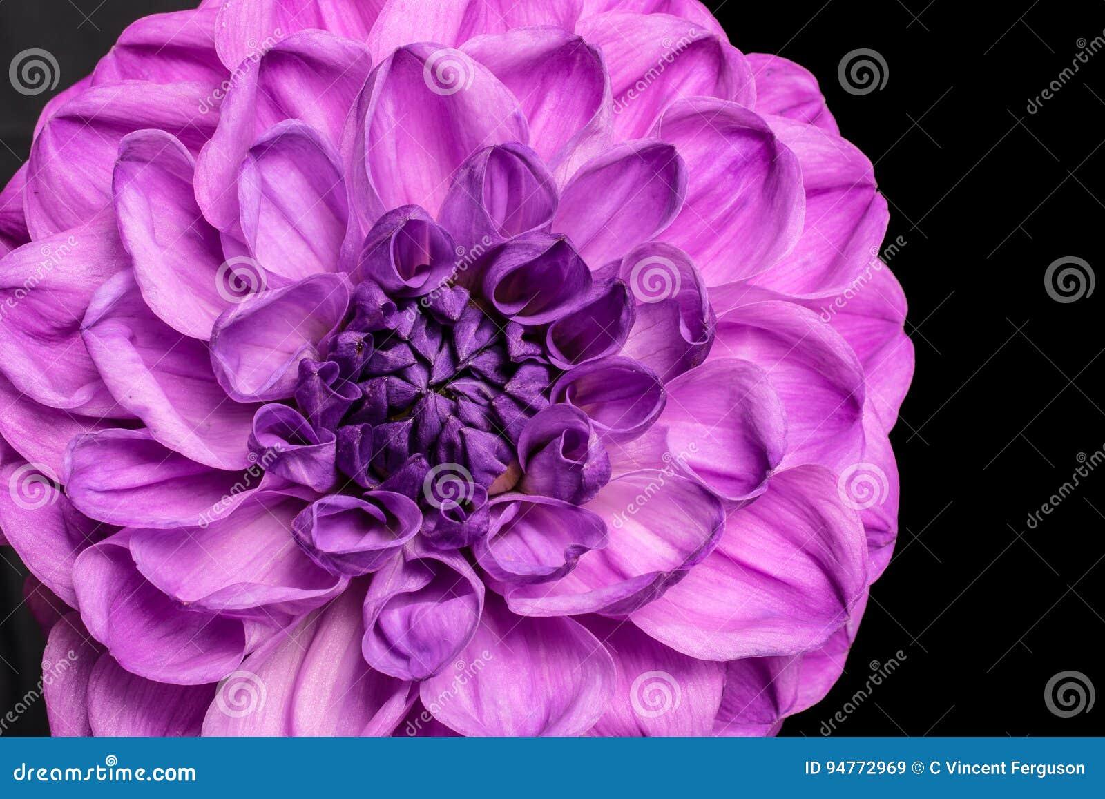 Purple dahlia flower stock image image of dark flora 94772969 download purple dahlia flower stock image image of dark flora 94772969 izmirmasajfo