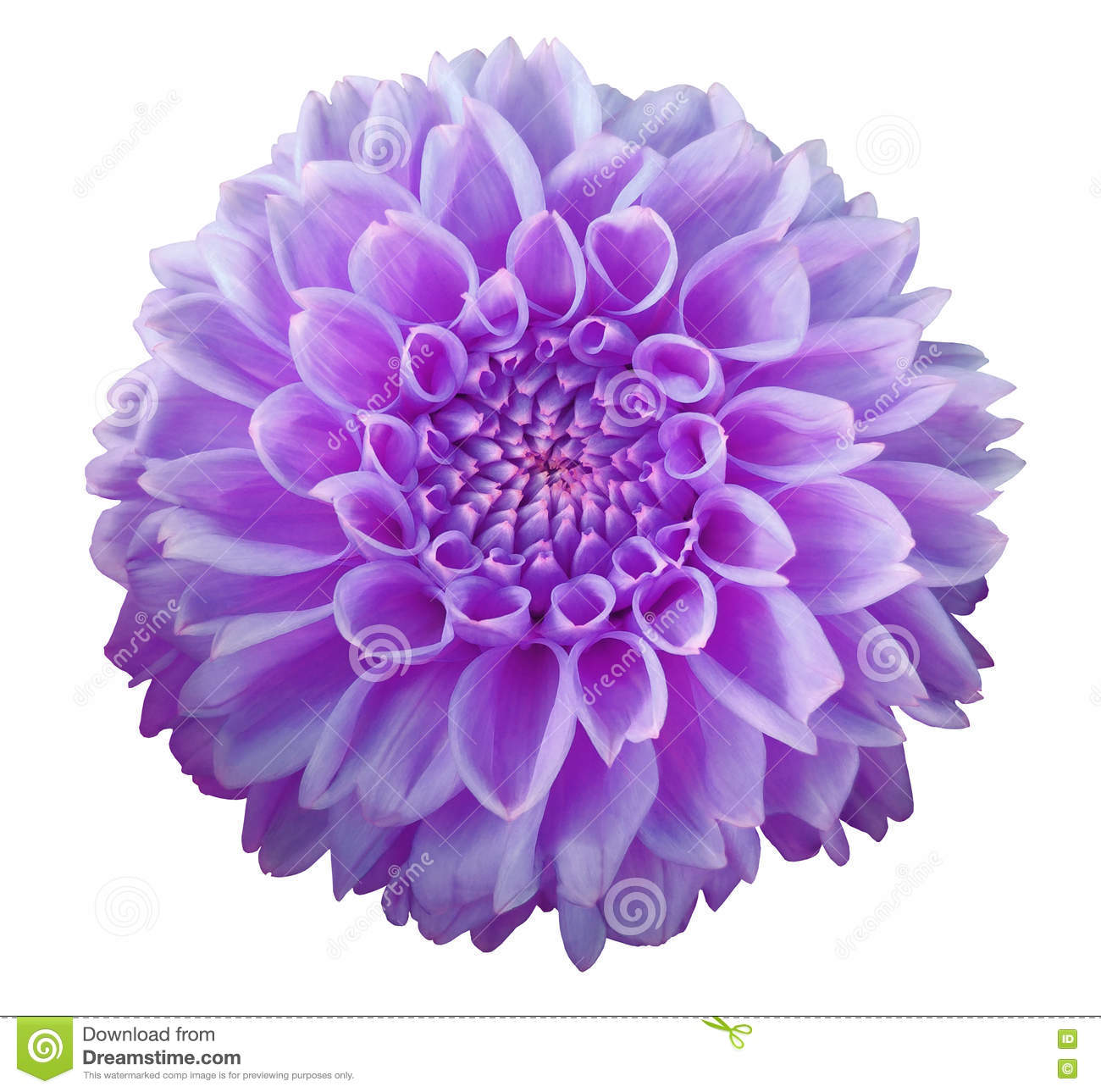 Purple Flower Clipart No Background: Purple Dahlia Flower, White Background Isolated With