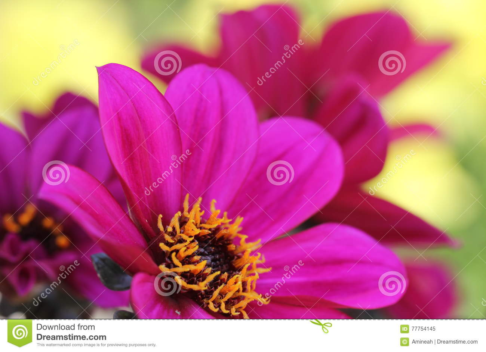 Purple dahlia flowers stock image image of love celebration 77754145 beautiful purple dahlia flowers on green background izmirmasajfo