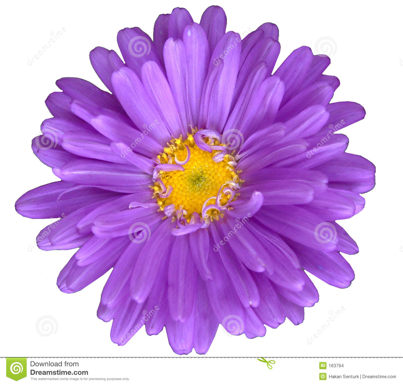 Purple Daisy Flower: Purple Daisy Stock Photo. Image Of Yaprak, Daisy, Indir