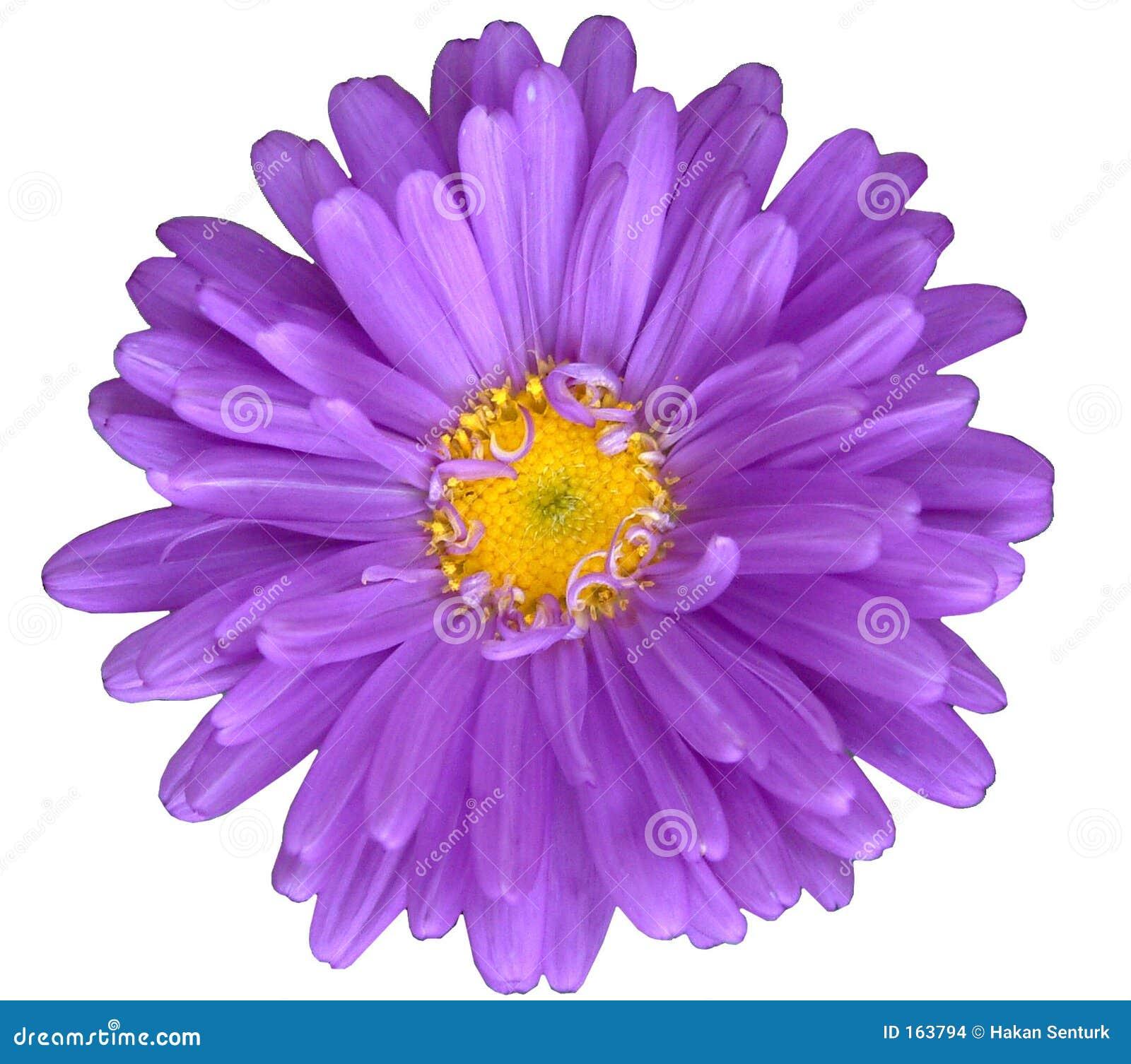 Purple Daisy Stock Images Image 163794