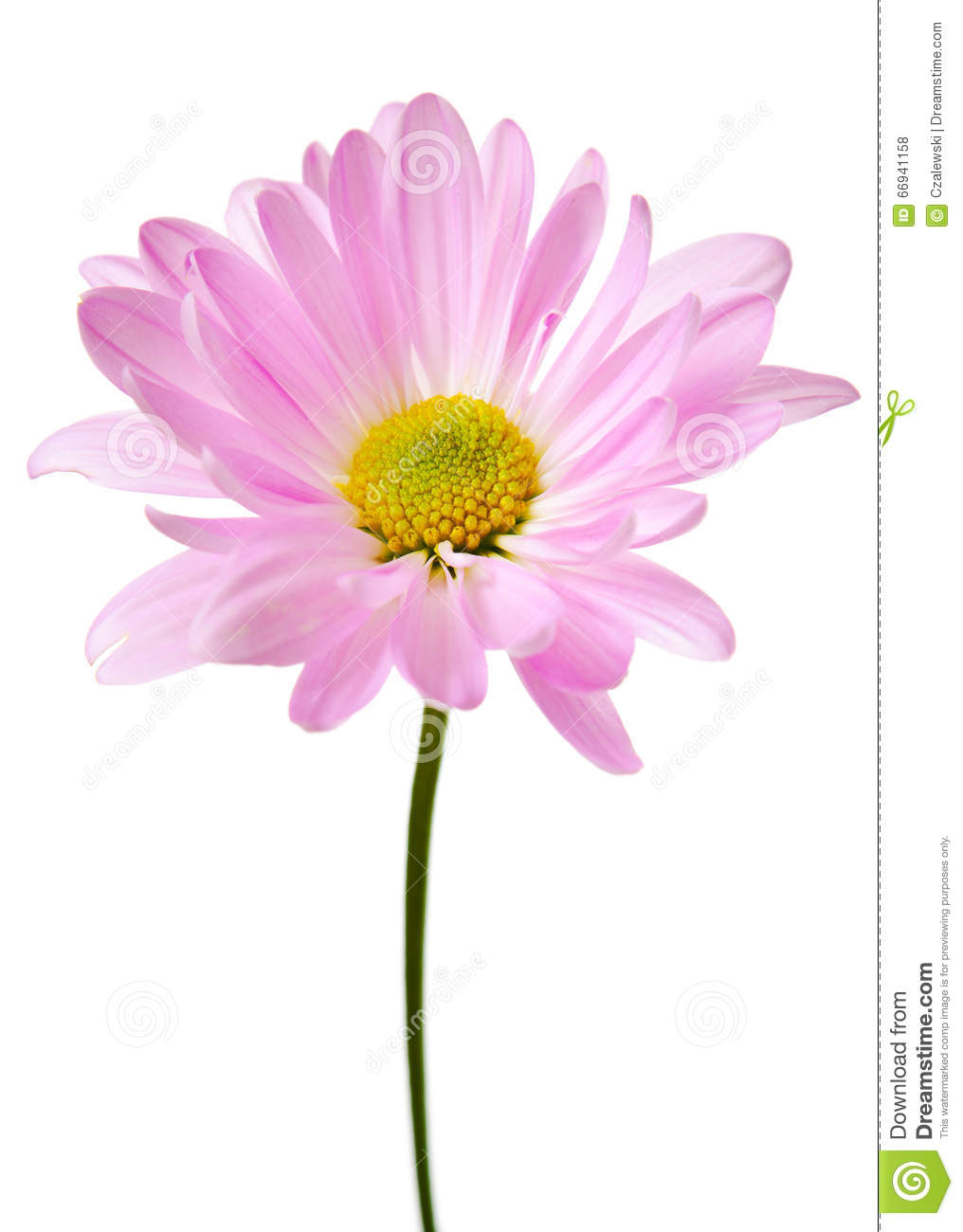 Purple Daisy Flower Daisies Floral Flowers Stock Photo Image Of