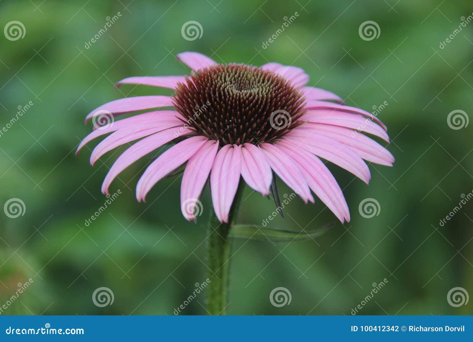 Purple Daisy Flower Stock Photo Image Of Mauve Purple 100412342